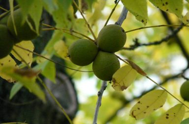 Photo of green tree showing three green nut like fruits